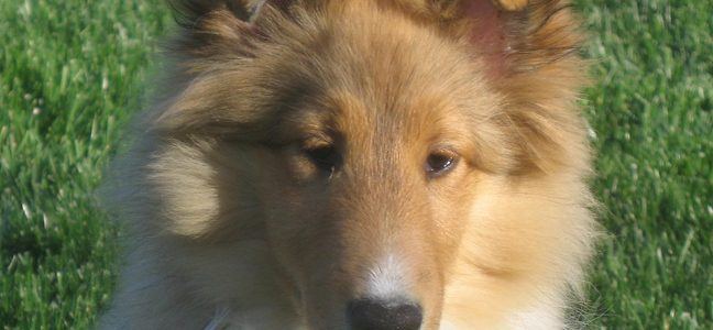 Angie the sable sheltie.